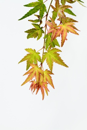maple which has begun to change color の写真素材