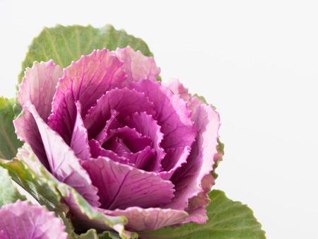 Beautiful ornamental cabbage