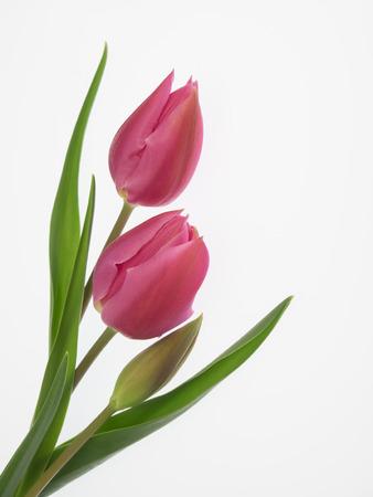 Pretty red tulip