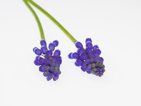 Purple grape hyacinth