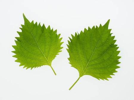 Japanese potherb Green Perilla Shiso