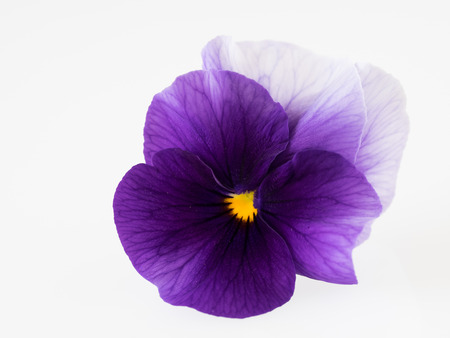 Beautiful pansy of the white background
