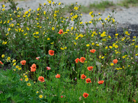 Long-headed + poppy + breeds + wildly + in + roadside + in + early + summer