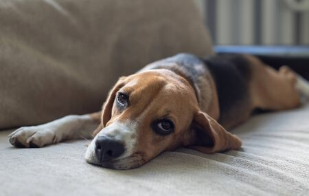 Photo pour Resting beagle dog on the couch. Beggingly looks at the owner. Pets. - image libre de droit