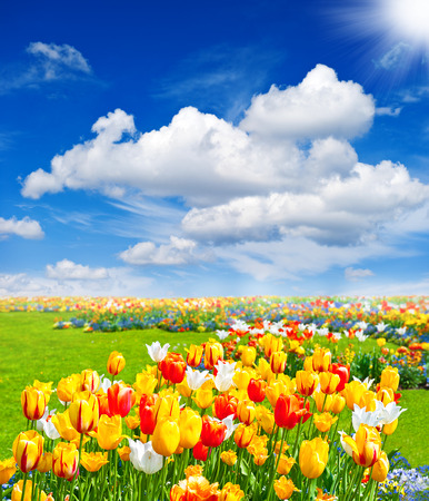 tulip flowers field  spring landscape with blue sunny sky