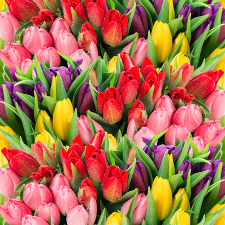 bouquet of multicolor tulips  fresh spring flowers with water drops  floral backdrop