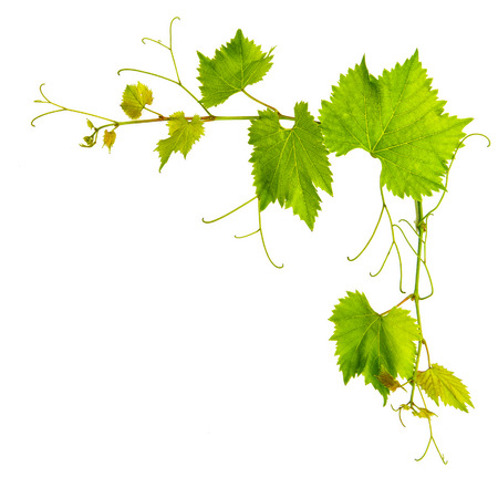 grape vine leaves border isolated on white background