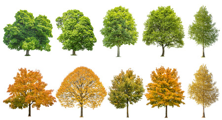 Foto per Autumn summer trees isolated on white background. Oak, maple, linden, birch. Green and yellow leaves - Immagine Royalty Free