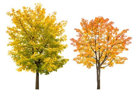 Photo for Maple tree in autumn isolated on white background. Autumnal leaves - Royalty Free Image