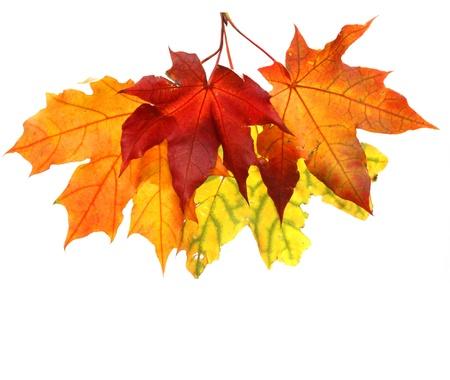 Isolated autumn leaves
