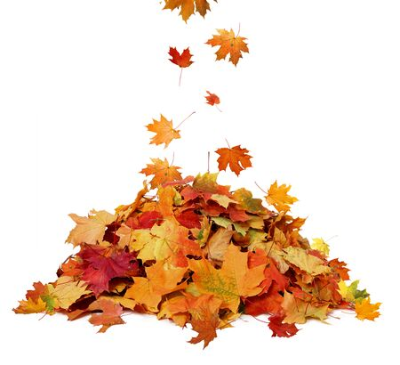 Photo pour Pile of autumn colored leaves isolated on white background.A heap of different maple dry leaf .Red and colorful foliage colors in the fall season - image libre de droit