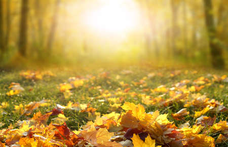 Photo pour Sunlight in autumn forest. Colorful foliage in the park. Falling leaves natural background.Beautiful autumn landscape with yellow trees, green grass and sun. - image libre de droit