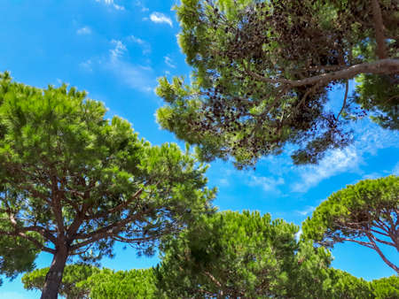Photo for Green pine trees and blue sky in summer in Italy, low angle view. Tranquil mediterranean nature scene with pine woodland - Royalty Free Image