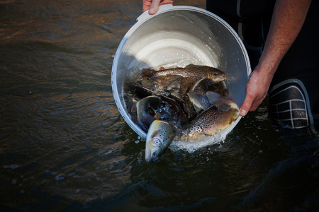 Brown trouts in the bucket in the river.
