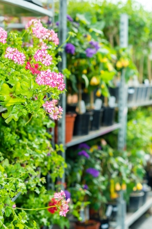 Potted flowers on shelves in garden shop greenhouse plants