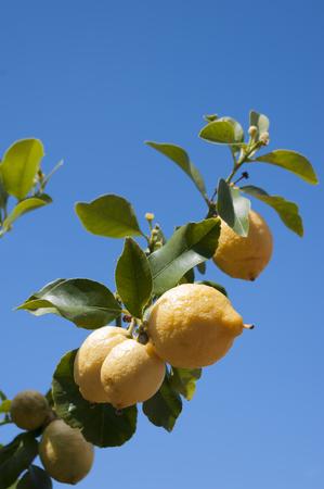 Lemons growing on branch against blue sky. Vertical.