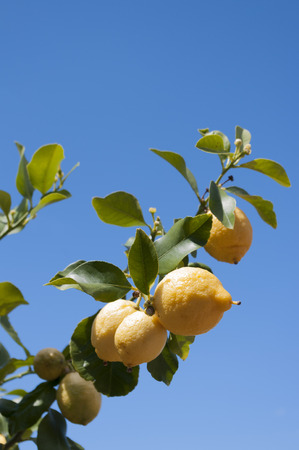 Lemons growing on branch against cloudless blue sky. Vertical.