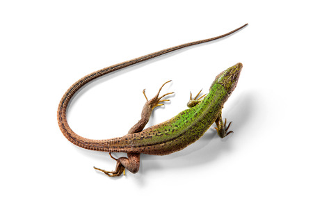 The green lizard above view isolated on white