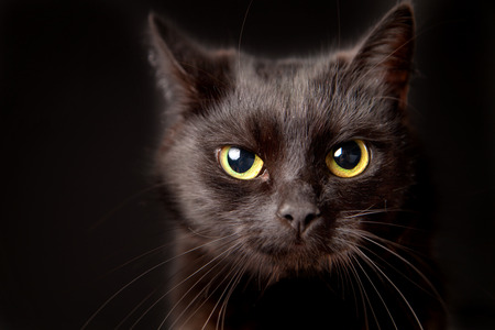 Close-up of a black cat, looking at camera, isolated on black