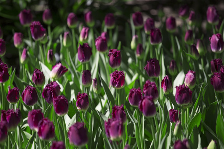 Purple tulips in Skagit Valley