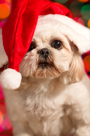 Shitzu dog wearing red santa hat with Christmas holiday lights bokeh in background looking adorable cute alery ready waiting curious