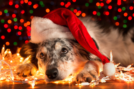Photo pour Border collie Australian shepherd mix dog lying down on white Christmas lights with colorful bokeh sparkling lights in background looking hopeful wishful believing celebratory concerned - image libre de droit