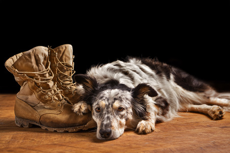 Photo pour Border collie Australian shepherd mix dog lying down on tan veteran service military combat boots looking sad grief stricken in mourning depressed abandoned alone emotional bereaved worried feeling heartbreak - image libre de droit