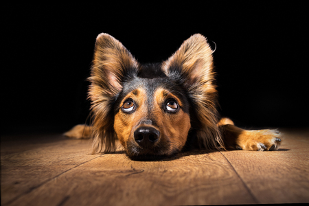 Photo for Black and brown mix breed dog or canine lying down on wooden floor isolated on black background looking up with big eyes and perky ears while curious interested adorable cute watching patient wanting hungry focused begging wishing hoping - Royalty Free Image