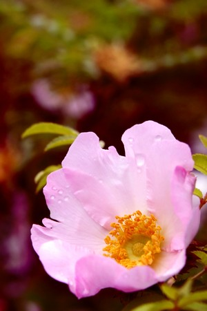 Pale pink chestnut rose with yellow pollen