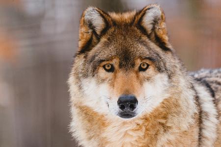 Photo pour Wolf in the winter forest - image libre de droit