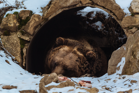 Photo pour Brown bear sleeping in the cave - image libre de droit