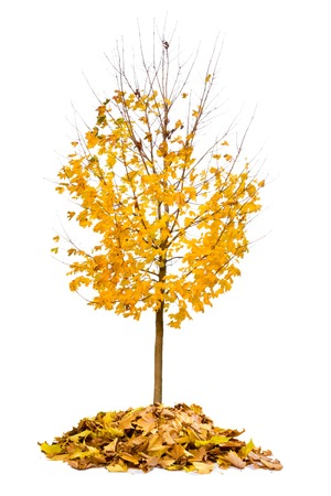 Photo of tree with yellow leaves isolated on white