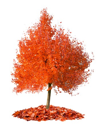 Photo of tree with red leaves isolated on white