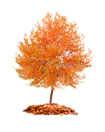 Photo of tree with orange leaves isolated on white