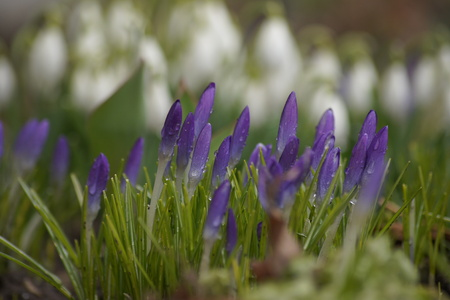 Purple crocuses with white snowdrops in the background.
