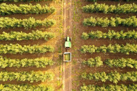 Foto für Green Tractor loaded with Olives crossing an Olive Tree plantation - Lizenzfreies Bild