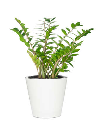 Photo for House plant in pot isolated on white background - Royalty Free Image
