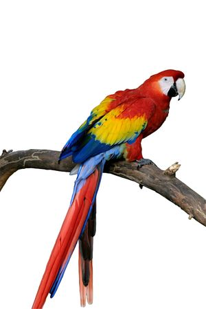 A bright red, macaw parrot perched on a branch. The parrot and branch are isolated using a path.