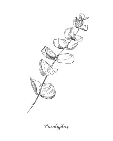 Illustration pour Eucalyptus branch. Hand Drawn Botanical line art illustration. drawing set. Collection of sketch branches with foliage, leaves, plants, herbs for decoration design of wedding cards, poster, print - image libre de droit