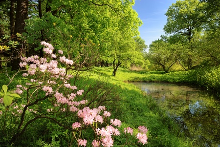Spring landscape with pond and Rhododendron