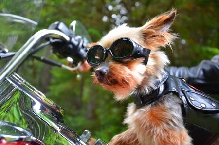 Photo pour Biker Dog - image libre de droit
