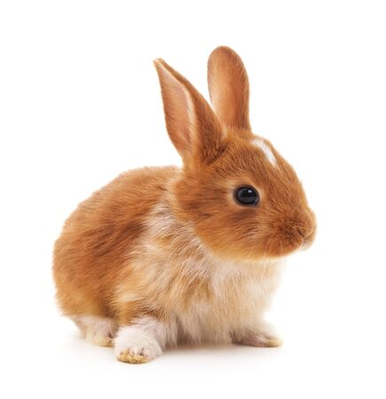 Photo for One brown rabbit isolated on a white background. - Royalty Free Image