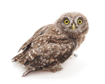 Photo pour One small owl isolated on a white background. - image libre de droit