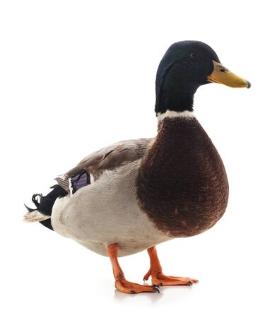 Photo pour One brown duck isolated on a white background. - image libre de droit