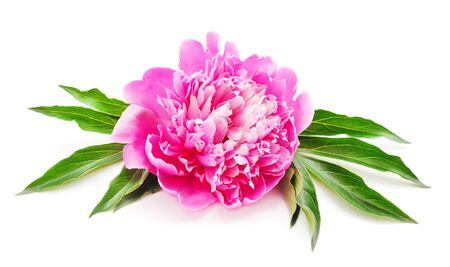 Photo for One pink peony isolated on a white background. - Royalty Free Image