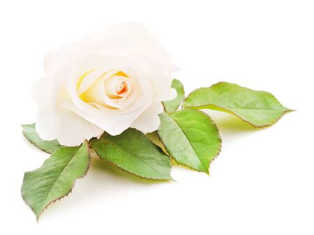Photo for One white rose isolated on a white background. - Royalty Free Image