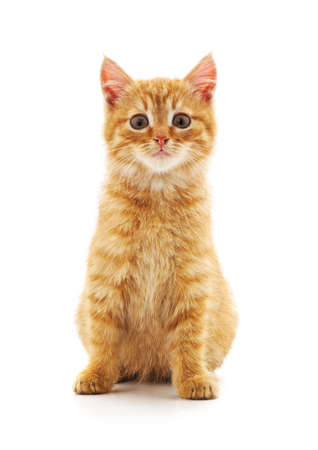 Photo for One red cat isolated on a white background. - Royalty Free Image