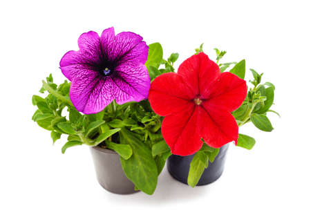 Photo pour Red and purple petunia in pots isolated on a white background. - image libre de droit