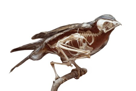Section of stuffed bird with skeleton inside isolated on white