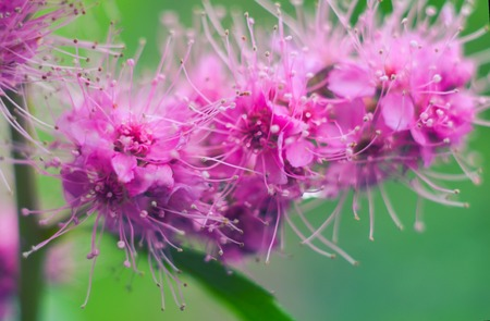 Purple blooming Spiraea salicifolia flowers. Natural background